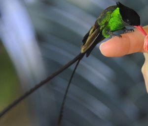 Colibri à tête noire
