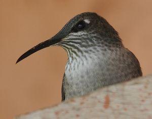 Colibri du Chimborazo