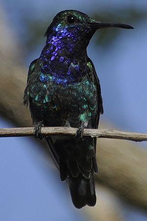 Colibri faux-saphir