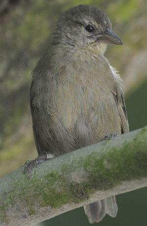 Foudi des Seychelles