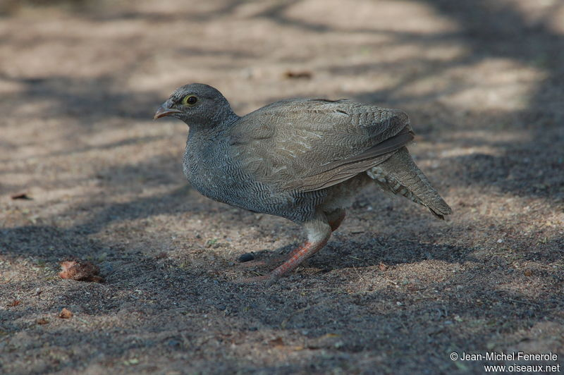Francolin bec rouge juv nile ref jefe74379 for Oiseau bec rouge