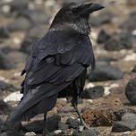 Corbeau brun