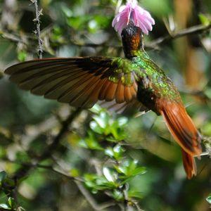 Inca iris