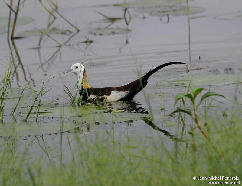 Pheasant tailed jacana hydrophasianus chirurgus ref for Oiseau jaune et noir