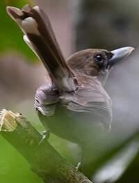 Monarque brun