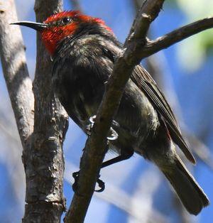 Myzomèle cardinal