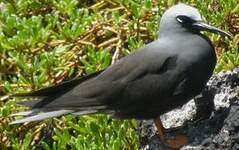 Noddi noir