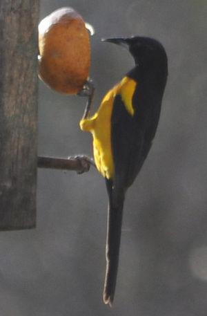 Oriole cul-noir