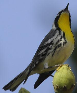 Paruline à gorge jaune
