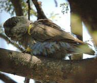 Perroquet de Rüppell
