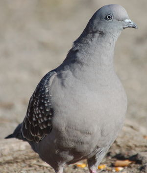 Pigeon tigré