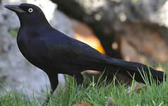 Quiscale noir