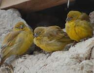 Sicale jaune