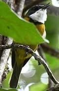 Siffleur calédonien