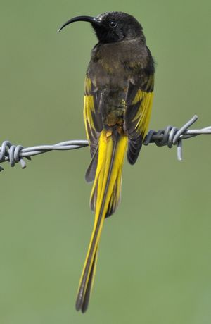 Souimanga à ailes dorées