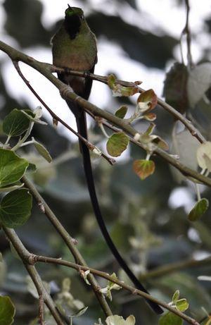 Sylphe à queue d'azur