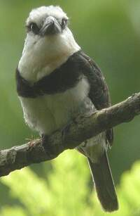 Tamatia à front blanc
