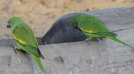 Toui à ailes jaunes
