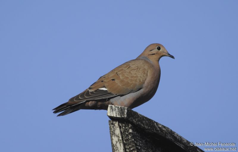 zenaida dove - photo #19