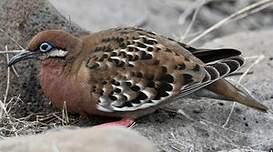 Tourterelle des Galapagos
