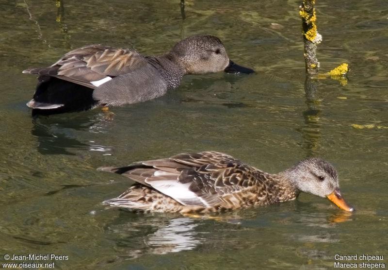 Gibier d'eau - Les différentes espèces chassables ! Canard.chipeau.jmpe.2g