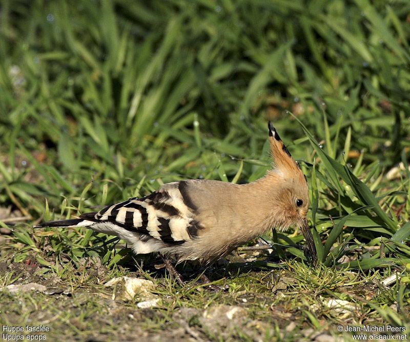 Huppe fasci e adulte ref jmpe50171 for Houpette oiseau
