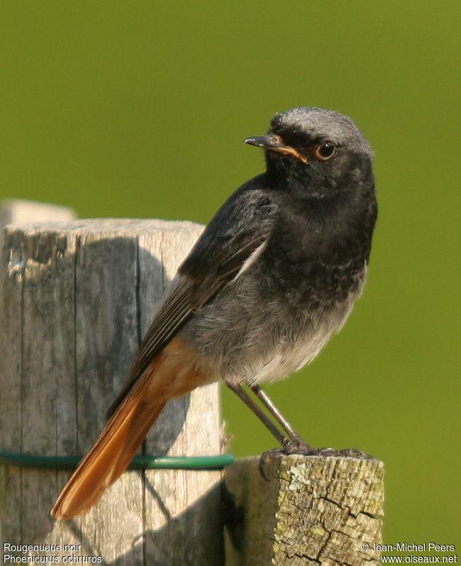 Rougequeue noir m le ref jmpe20471 for Petit oiseau gris