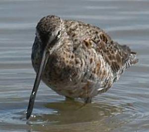 B cassin long bec photos for Oiseau a long bec