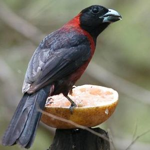 Cardinal à collier