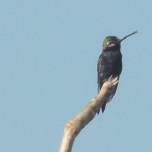 Colibri d'Angèle