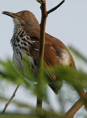 Moqueur a long bec for Oiseau a long bec