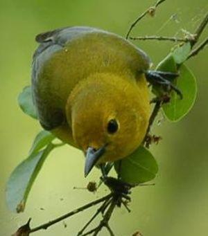 Paruline orangée
