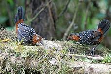 Mérulaxe ocellé