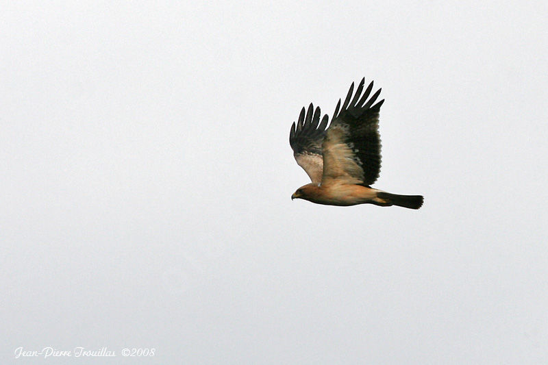Booted Eagle adult