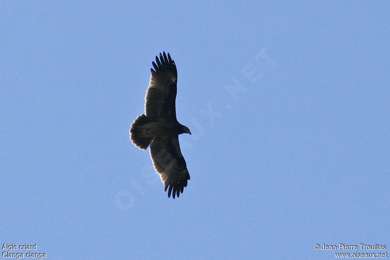 Greater Spotted Eagle First year, identification