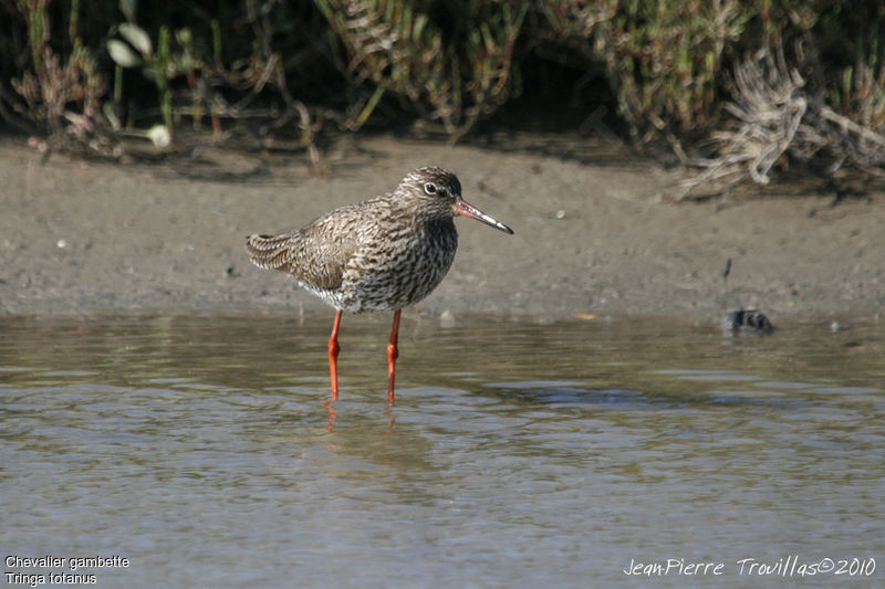 Common Redshank , identification