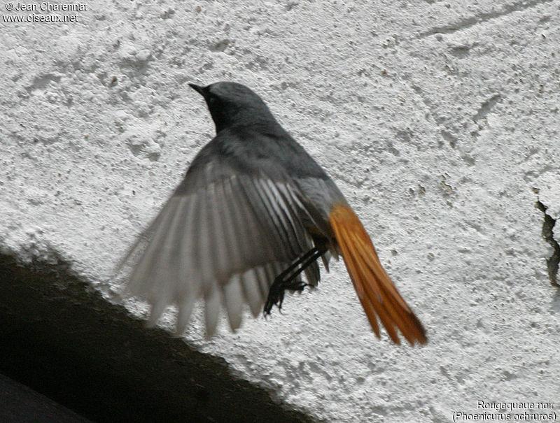 Rougequeue noir ref jech1483 for Oiseau queue rouge