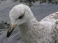 Goéland argenté
