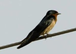 Hirondelle de l'Angola