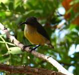 Souimanga de Mayotte