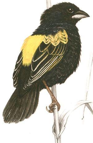 Euplecte à croupion jaune