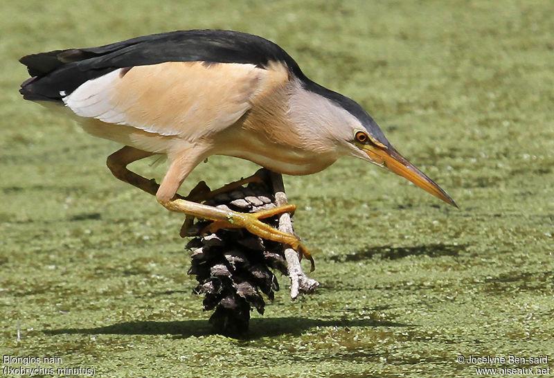 un oiseau - ajonc - le  8 mai  bravo Martine  Blongios.nain.jobe.3g