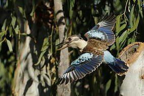 Martin-chasseur à ailes bleues