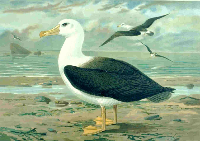 black browed albatross classification essay
