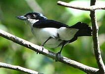 Bécarde du Surinam