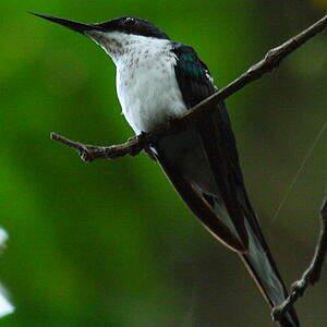 Colibri oreillard