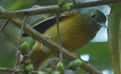 Pipromorphe roussâtre