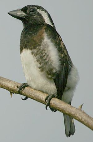 Barbican oreillard