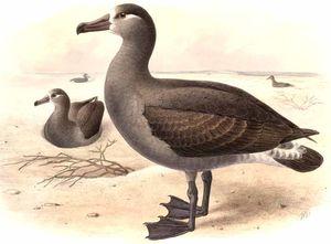 Albatros à pieds noirs