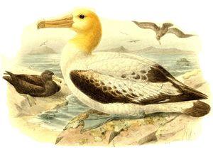 Albatros à queue courte